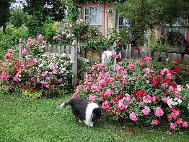 flower carpet roses in cottage garden by tesselaarusa via flickr - Backyard Rose Garden
