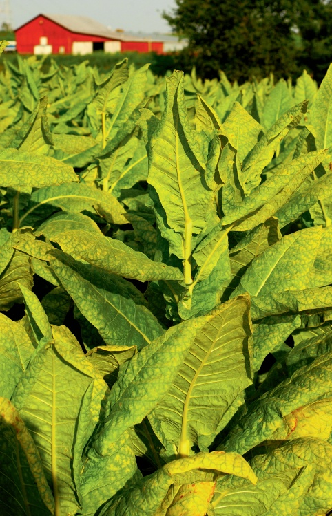Tobacco plants glow green beneath a barn in Glasgow, KY. Find more on the green nature of their economy...