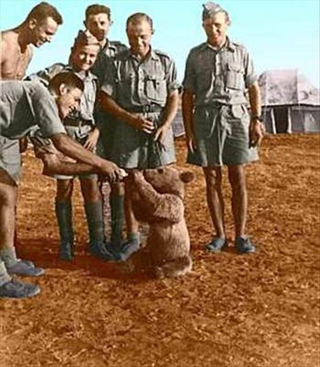 This bear cub drinking milk from a bottle was found in Iran by Polish soldiers of 22nd artillery company in 1942. He was named Wojtek (meaning happy or smiling warrior) and travelled with them all over North Africa & Europe. During the Battle of Monte Cassino, Wojtek helped move ammunition. Afterwards, an effigy of a bear holding an artillery shell was the official emblem of the 22nd Company