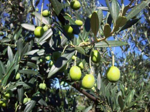 Gentile di Chieti - Tenuta Zimarino Masseria Don Vincenzo (Vasto)  #TuscanyAgriturismoGiratola