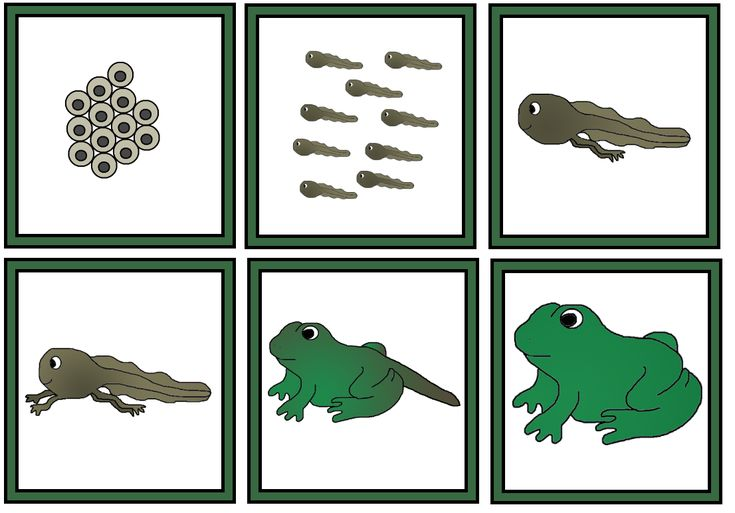 Frog life cycle sequence cards