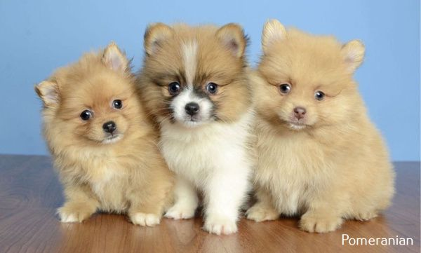 Pomeranian Puppy Dr Who In 2020 Cute Teacup Puppies Puppies Teacup Puppies