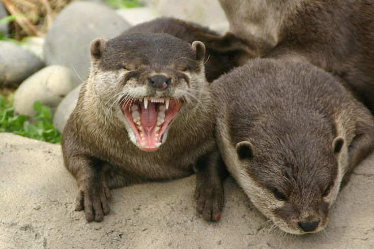 Otter Facts - Animal Facts Encyclopedia
