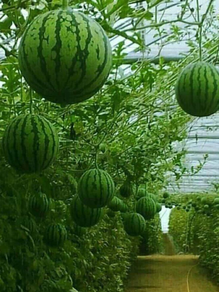 watermelon greenhouse  Gardening  Fruit garden Fruit  Garden