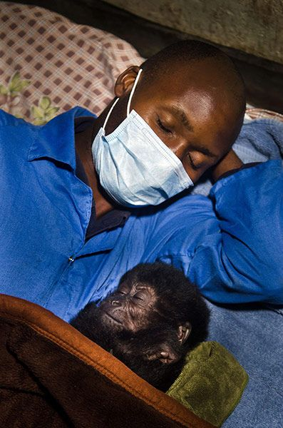 Orphaned baby gorillas rescued in Congo