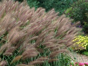 Pennisetum red head zones 5 9 10 long smoky purple for Ornamental grass with purple flowers