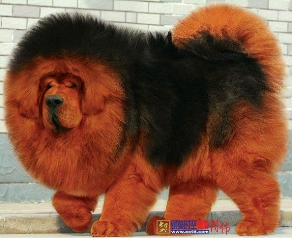 Tibetan Mastiff love it. Must take a long time to brush it.
