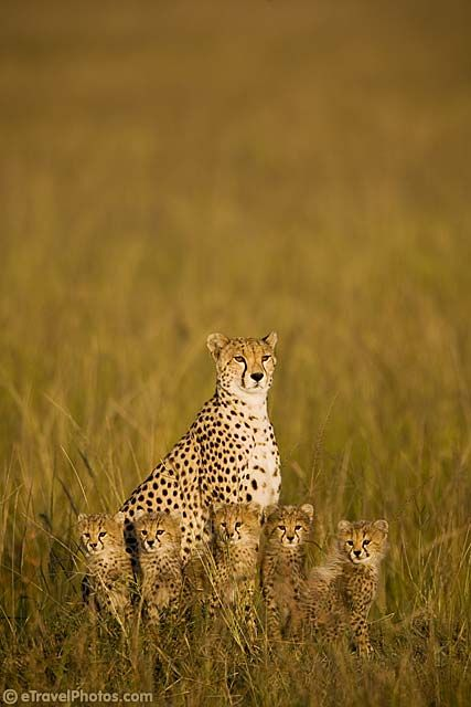 magicalnaturetour: Cheetah with 5 cubs (by Tony Costa (UK) :)