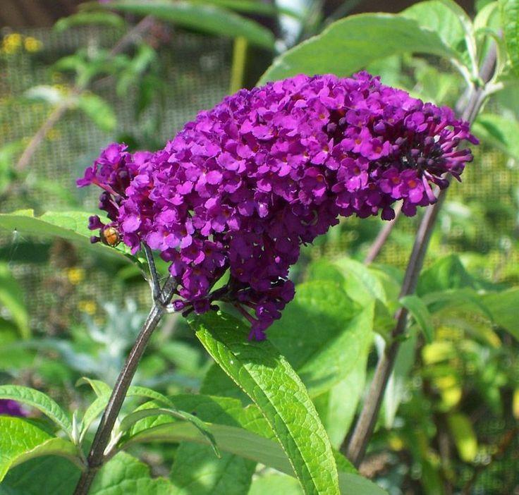 Buddleja davidii Royal Red (Butterfly Bush)