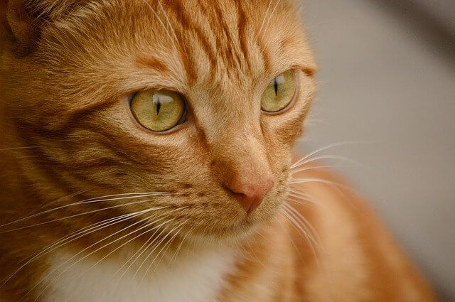 Orange Tabby Cats Facts Personality And Genetics Orange Tabby Cats Tabby Cat Orange Tabby
