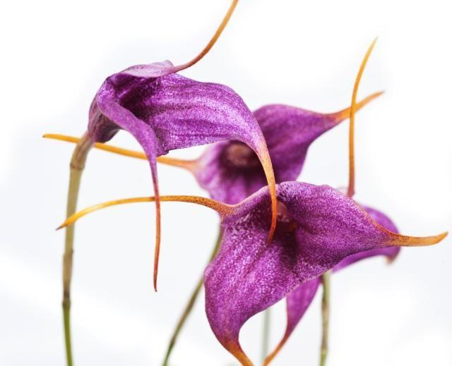'Crown of Consciousness' Orchid Healing Essence Gisela Andersson Brisbane Australia  Read more: http://www.localsmile.com.au/Brisbane/Listing/IntoBeingGiselaAndersson/floweressencesorchidhealingaustralia/FlowerEssencesBrisbaneOrchidHealingCrownofConsciousnessGiselaAndersson