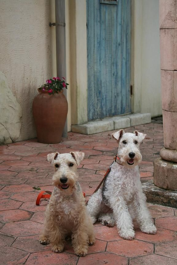terriers the dog I want. They are so cute!