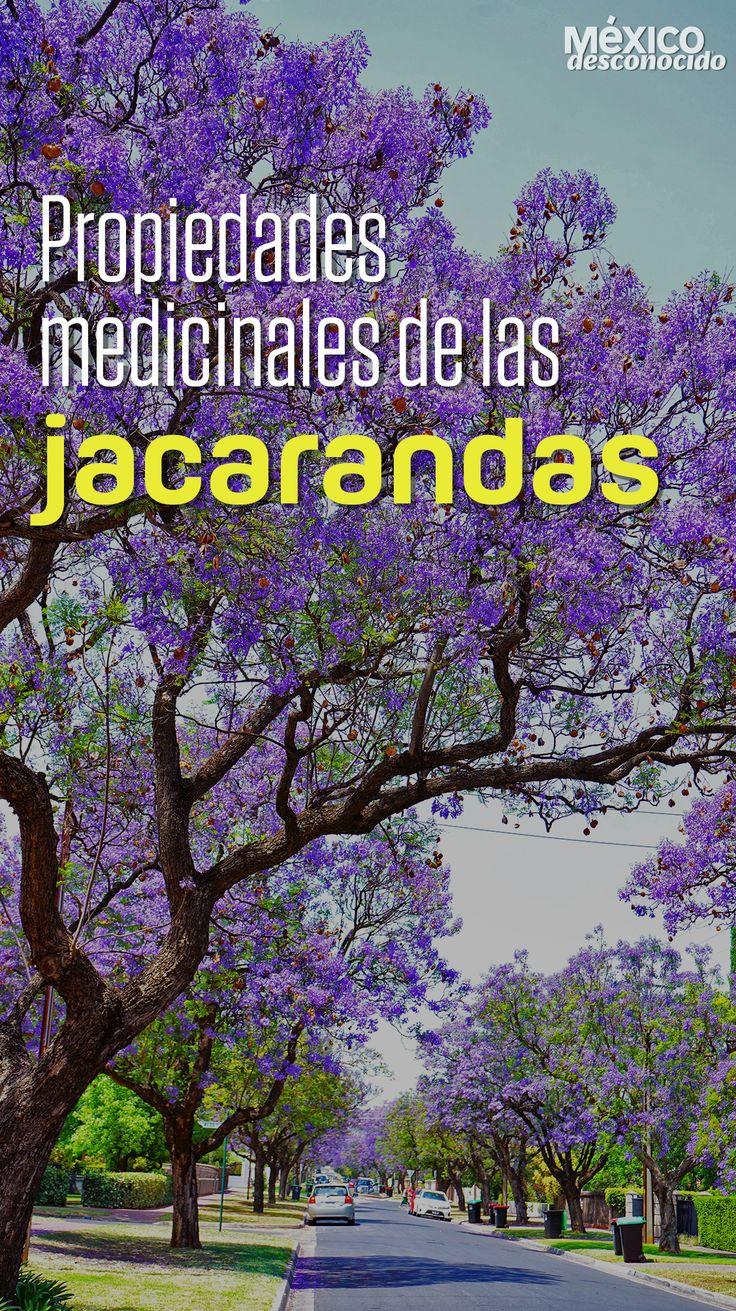 Las jacarandas son esos árboles con flores moradas que cada primavera nos maravillan. Te contamos acerca de sus propiedades poco conocidas. Health And Beauty Tips, Health Tips, Hosta Gardens, Garden Waterfall, Visit Mexico, Reference Images, Natural Medicine, Bonsai, Natural Remedies