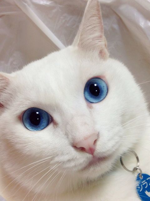 white cat with blue eyes | Furry Things | Pinterest