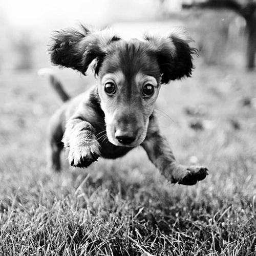 Daschound Jump!