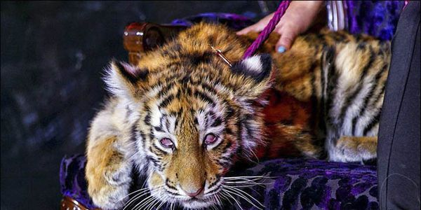 "SIGN THE PETITION!!  Tigre de Cristal Casino: Stop Abusing ""Crystal"" the Siberian Tiger Cub!"