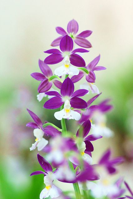 Calanthe orchids. Gorgeous for sprucing up a boring living room! Not overly bold and purple is such a calming color.
