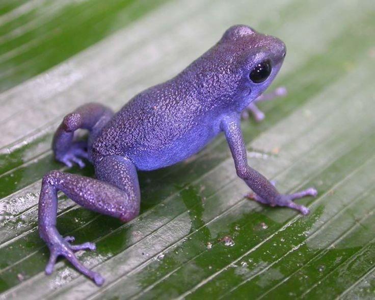 "Purple+Poison+Dart+Frog | ... think of maybe pumilio cauchero. I've seen some ""purple"" looking ones"