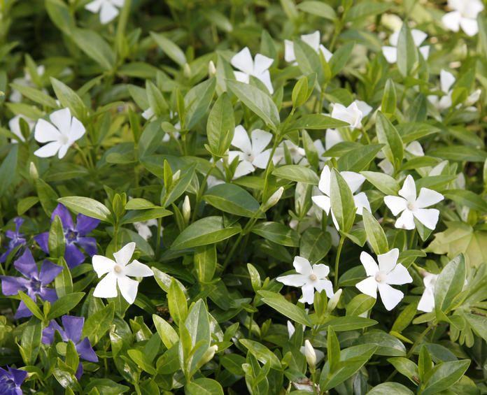 Die Besten Immergrunen Bodendecker Garten Pinterest Garten