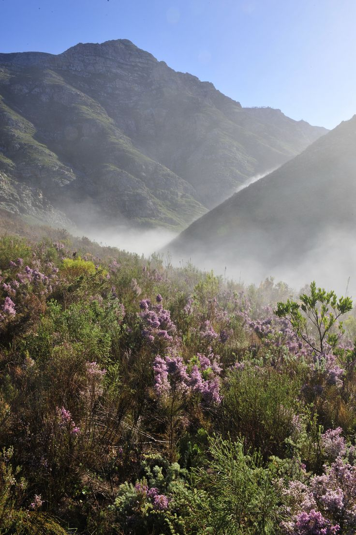 FYNBOS of the Western Cape, South Africa. Home to the world's richest floral kingdom. African Botanics