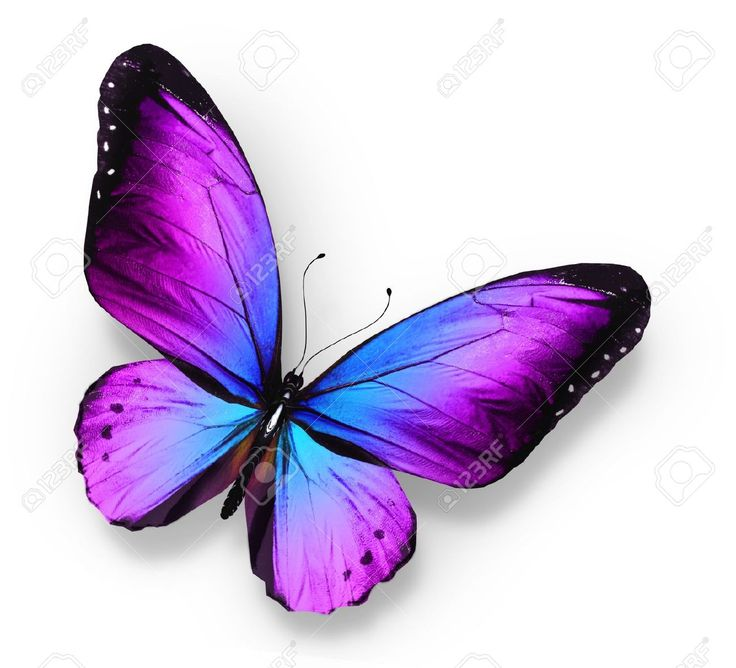 Violet Blue Butterfly , Isolated On White Stock Photo, Picture And ...