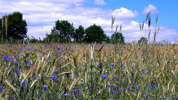 Aciano: la flor azul que crece en los trigales Centaurea cyanus la flor azul de los trigales.  Su nombre científico (Centaurea cyanus) hace referencia directa a su coloración azul: recordemos que cian (ciano aciano azul aciano) es una tonalidad de azul concretamente el llamado azul celeste.    El agua de aciano casi el bálsamo de Fierabrás  El agua de aciano es una substancia que se obtiene a partir de la decocción de las flores del aciano y debido a sus propiedades antiinflamatorias se ha…