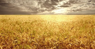 This proves, without any question, that Monsantos genetic experiments which escaped into commercial wheat fields are now going to devastate U.S. wheat farmers. Expect the floor to drop out on wheat prices, and watch for a huge backlash against the USDA by U.S. farmers who stand to lose hundreds of millions of dollars on this.