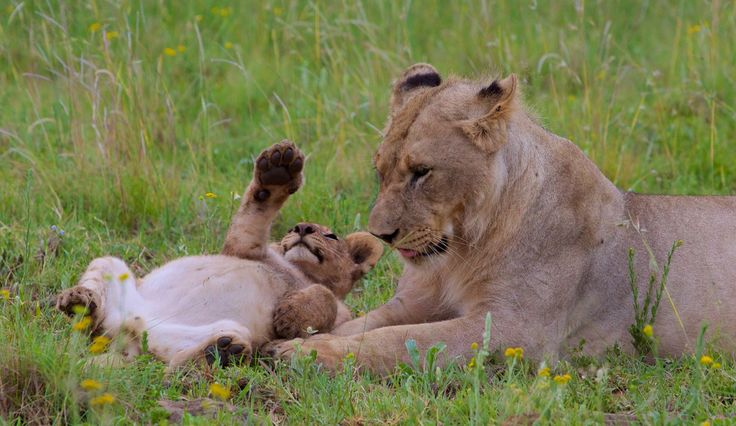 Mother lion and cub playing