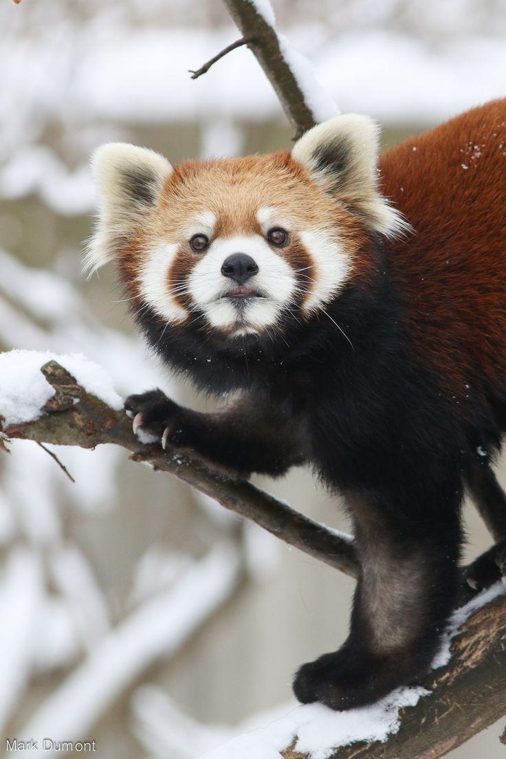 19 best red panda habitat images on pinterest panda habitat red