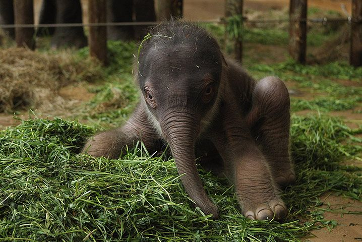 2 Day Old Baby Elephant Tierpark Berlin Zoo