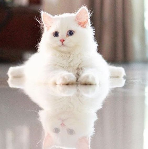 Albino Cats Are Not Just White Cats With Images Pretty Cats