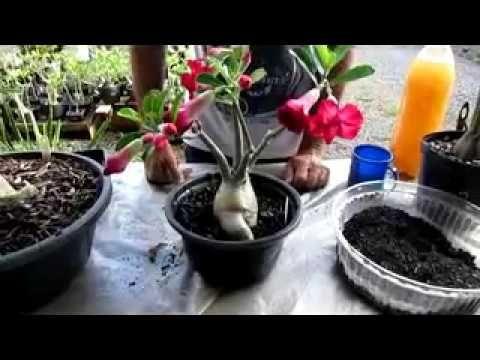COMO ENGROSSAR CAUDEX DA SUA MUDA DE GALHO (Rosa do deserto) - YouTube