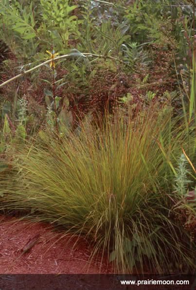 31 best images about plants ornamental grasses on for Hardy ornamental grasses
