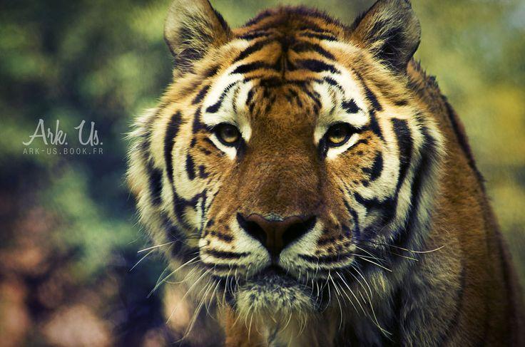 Tiger by Arkus83 on DeviantArt