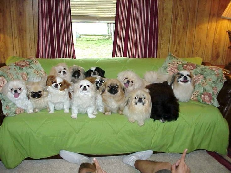Toy and Sleeve Pekingese Pekingese puppies for sale Pekingese Breeder My WebSite…