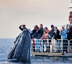 Whale Watching in Hervey Bay, Fraser Coast - Queensland - Tourism Fraser Coast QLD