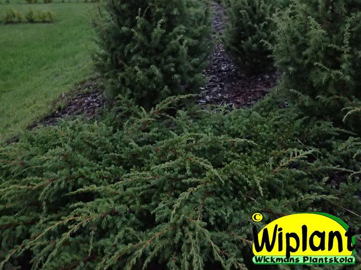 Juniperus communis Repanda, dvärg-en. Krypande växtsätt och mörkgrön till brungrön färg. 0,4 m hög.