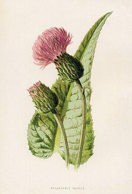 Set of 3 antique thistle prints flowers botanical for Botanical tattoo london