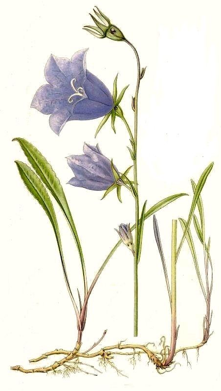 Canterbury Bell Mixed (Campanula Medium) Seeds