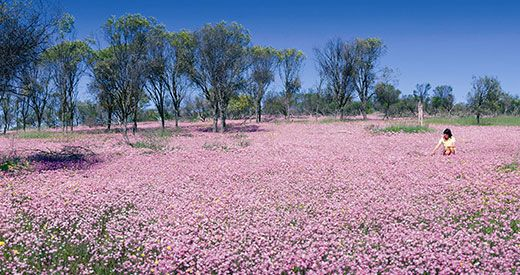 west australian wild flowers - Google Search