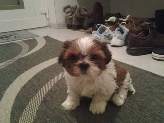 average life of a shih tzu pin by sylvia coons on shih tzu pinterest 9981