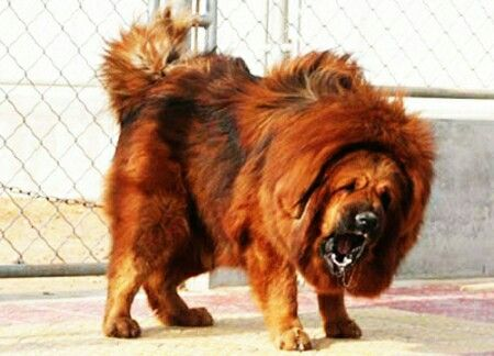 What Is The Most Expensive Dog Breed In America