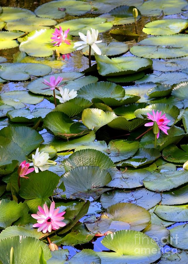 lilies on pond | Colorful Water Lily Pond Photograph