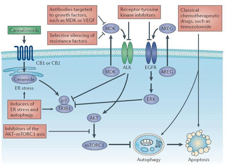 Mécanisme d'action des cannabinoides contre les tumeurs cérébrales.