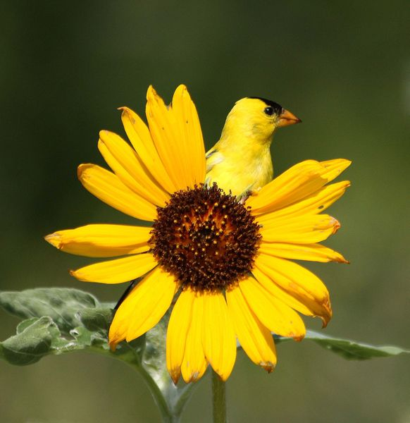 You can't see me! American Goldfinch by Sally Stone, via Audubon Magazine