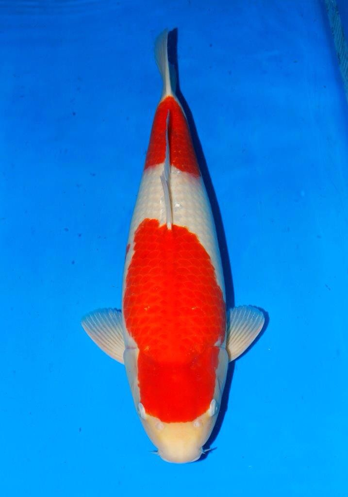 7 best koi for sale images on pinterest koi for sale for Sakai koi for sale