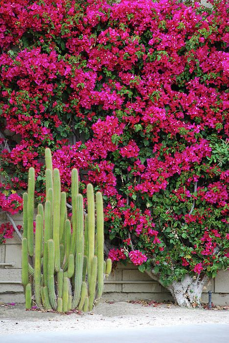 Palm Desert Blooms! lots of these bushes growing along cement walls. a vibrant pink color. gorgeous...