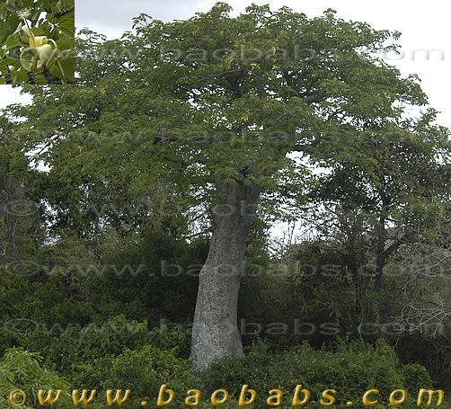 Adansonia perrieri  -  Click the photo to see more.