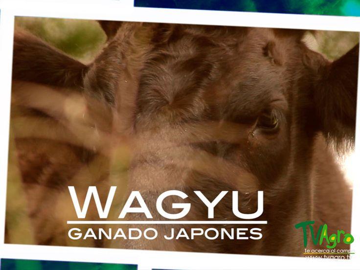 Entre Establos y Praderas: Wagyu Ganado Japonés