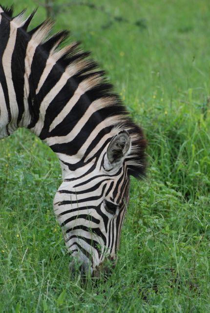Makakatana - Zebra